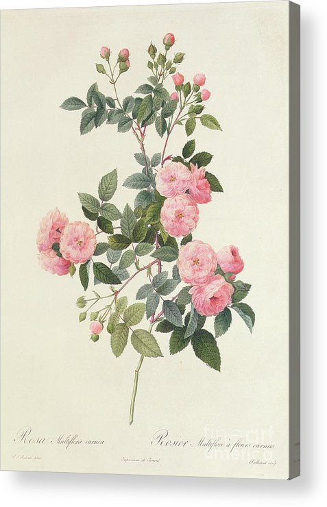 Rosa Acrylic Print featuring the drawing Rosa Multiflora Carnea by Pierre Joseph Redoute