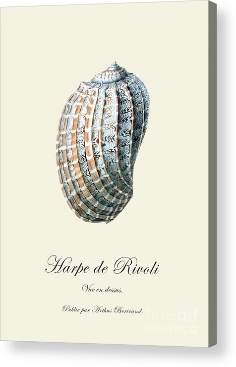 Sea Shell Acrylic Print featuring the drawing Sea Shell by Patruschka Hetterschij