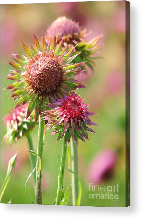 Texas Thistle Acrylic Print featuring the photograph Texas Thistle 001 by Robert ONeil