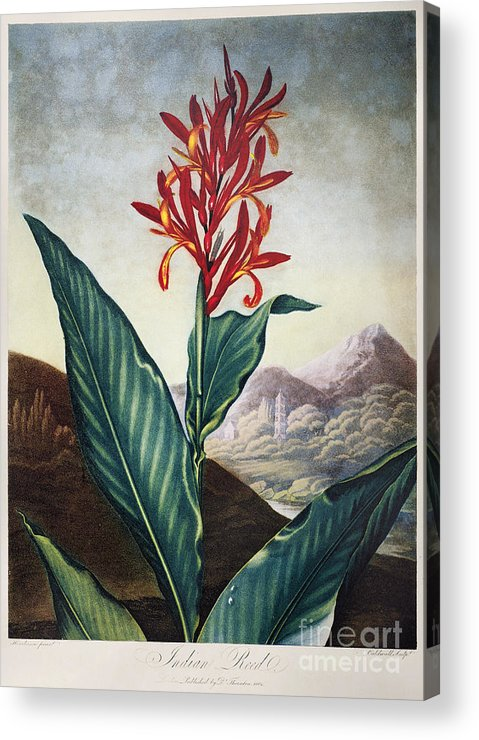 1804 Acrylic Print featuring the photograph Thornton: Indian Reed by Granger