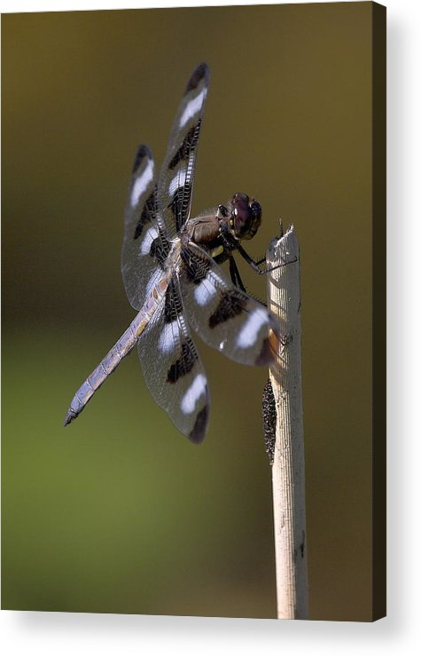 Dragonfly Acrylic Print featuring the photograph Twelve-spotted Skimmer by Ray Akey