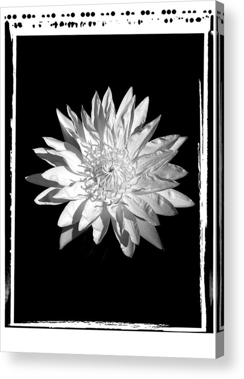 Water Lilly Flower Black White Acrylic Print featuring the photograph Water Lilly II by William Haney