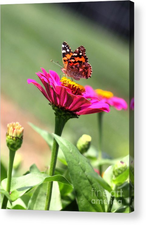 White Acrylic Print featuring the photograph Zinnia Visitor by Angela Rath
