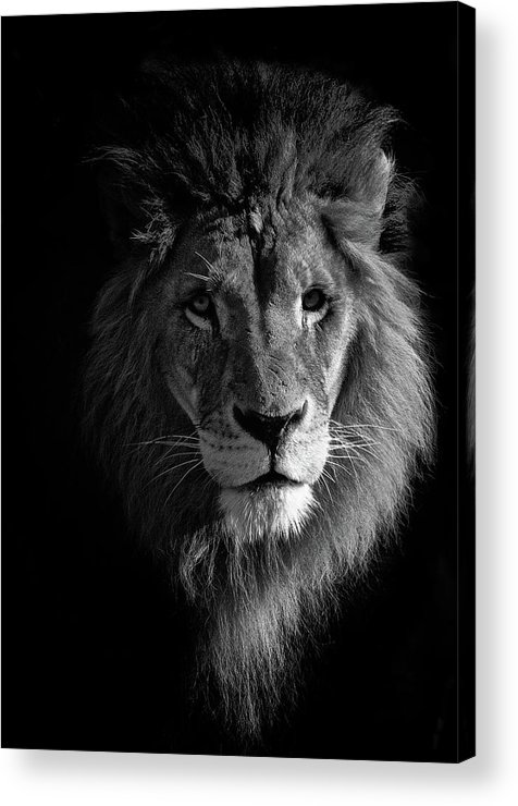 Animal Themes Acrylic Print featuring the photograph Lion Portrait by © Christian Meermann