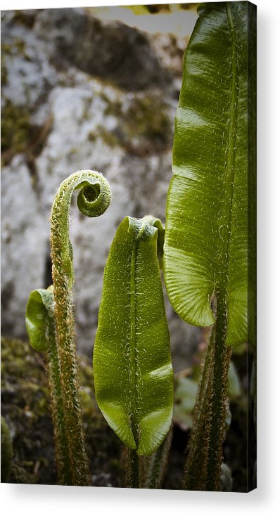 Irish Acrylic Print featuring the photograph Fern Study At Blarney Castle Ireland by Teresa Mucha