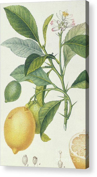 Vintage Botanical Prints Acrylic Print featuring the drawing The Lemon Tree by Pierre Jean Francois Turpin