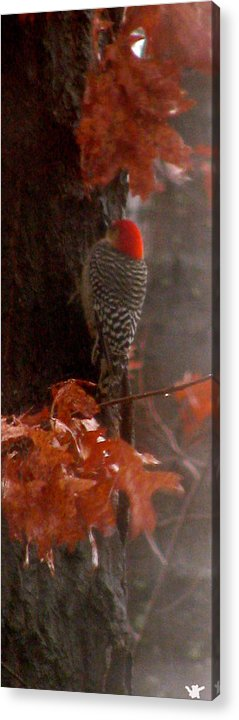 Red Headed Woodpecker Acrylic Print featuring the photograph Deep In The Forest Woodpecker by Debra   Vatalaro