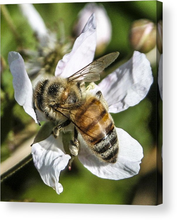 Bee Acrylic Print featuring the photograph Bee by Steven Taylor