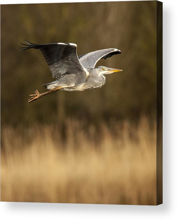 Heron Acrylic Print featuring the photograph Heron In Flight by Simon West
