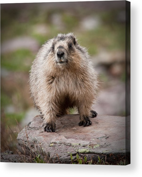 Animal Acrylic Print featuring the photograph Marmot by Craig Brown
