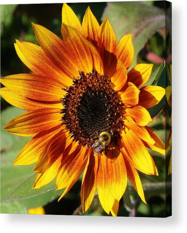 Flora Acrylic Print featuring the photograph Busy Bee by Bruce Bley