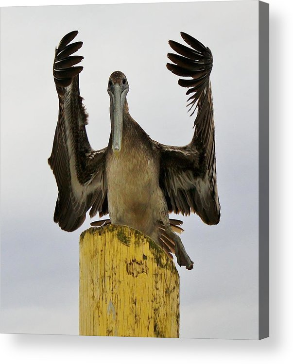 Pelican Acrylic Print featuring the photograph What by Paulette Thomas
