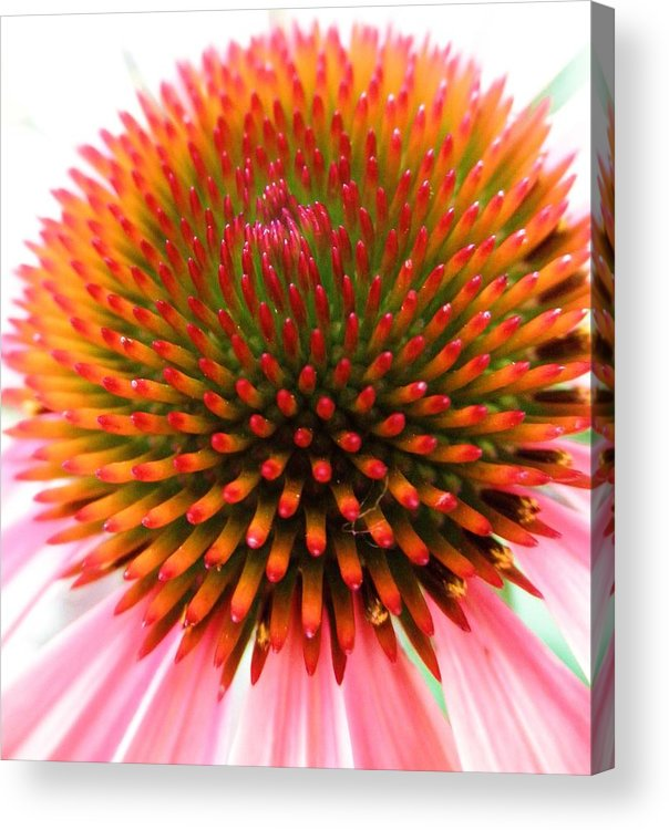Flower Acrylic Print featuring the photograph Ball Of Fire by Jeanette Oberholtzer