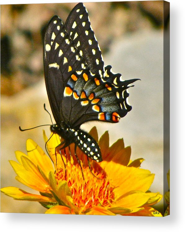 Butterfly On A Flower Acrylic Print featuring the photograph Butterfly Collection by Debra   Vatalaro