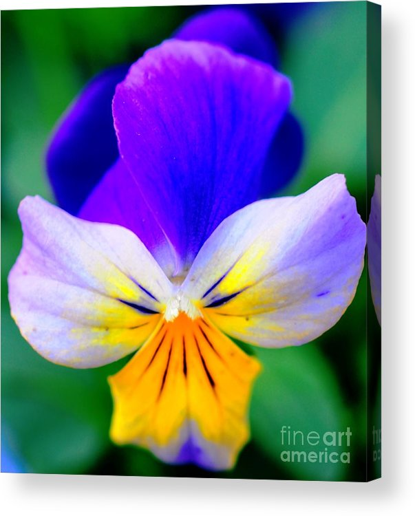 Pansy Acrylic Print featuring the photograph Pansy by Kathleen Struckle