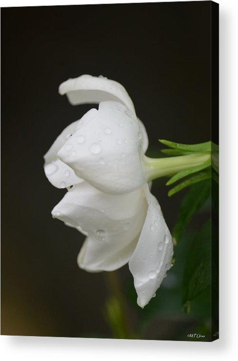 A Gardenia Profile Acrylic Print featuring the photograph A Gardenia Profile by Maria Urso