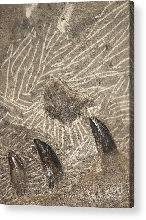 A Megalodon Shark Acrylic Print featuring the photograph Fossil Shark Teeth by Artist and Photographer Laura Wrede