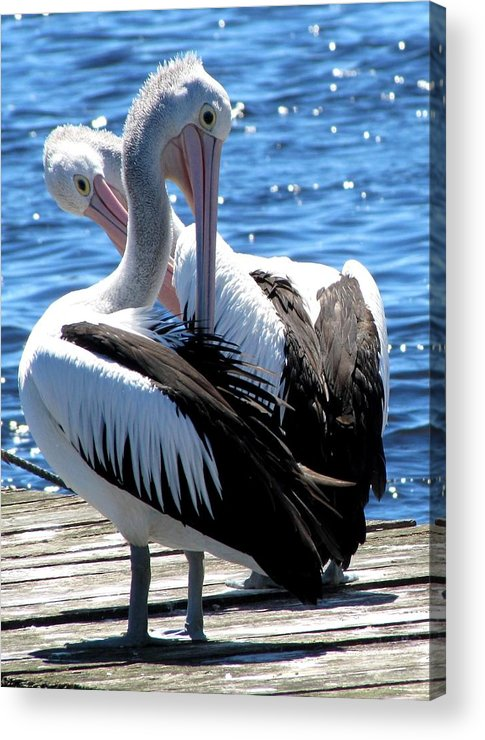 Pelicans Acrylic Print featuring the photograph Grooming by Elizabeth Hardie