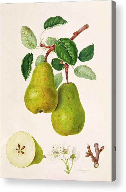 Pear Blossom; Pears; Leaves; Branch; Cross-section; Botanical Illustration Acrylic Print featuring the painting The D'auch Pear by William Hooker