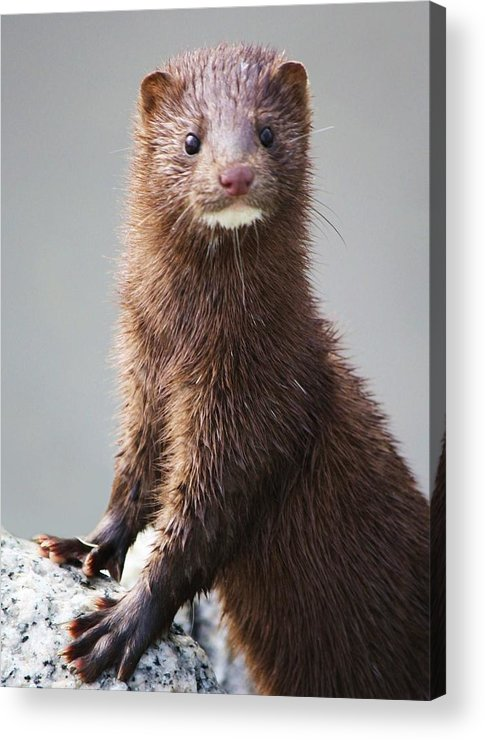 Mink Acrylic Print featuring the photograph Mink by Paulette Thomas