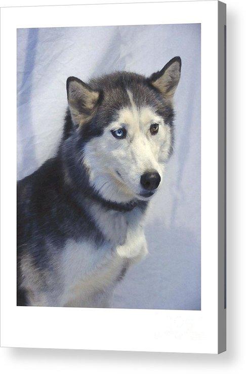 Siberian Husky Digital Art Acrylic Print featuring the digital art Siberian Husky 182 by Larry Matthews