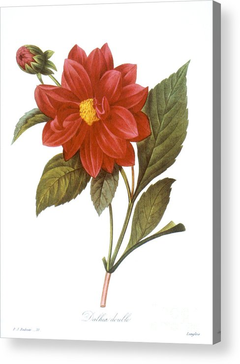1833 Acrylic Print featuring the photograph Dahlia (dahlia Pinnata) by Granger