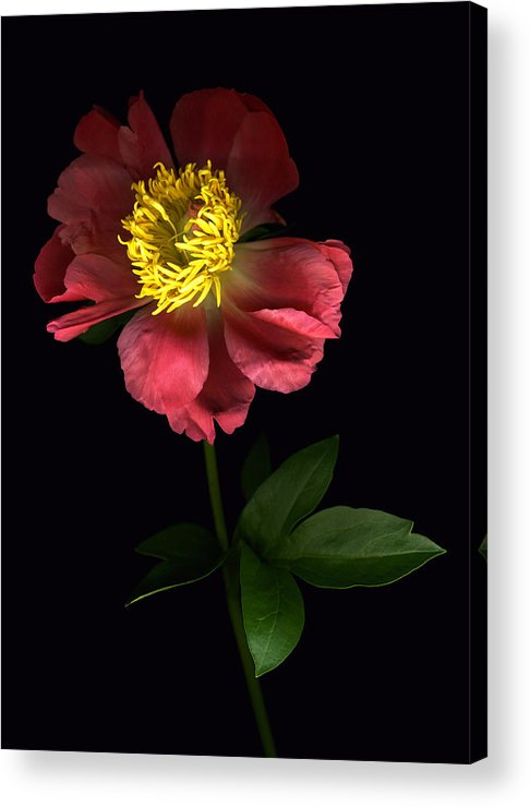 Scanography Acrylic Print featuring the photograph Dramatic Peony by Deborah J Humphries