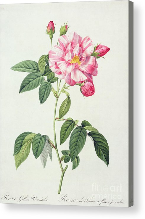 Rosa Acrylic Print featuring the drawing French Rose by Pierre Joseph Redoute
