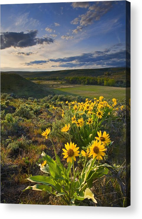 Balsamroot Acrylic Print featuring the photograph Golden Hills by Mike Dawson