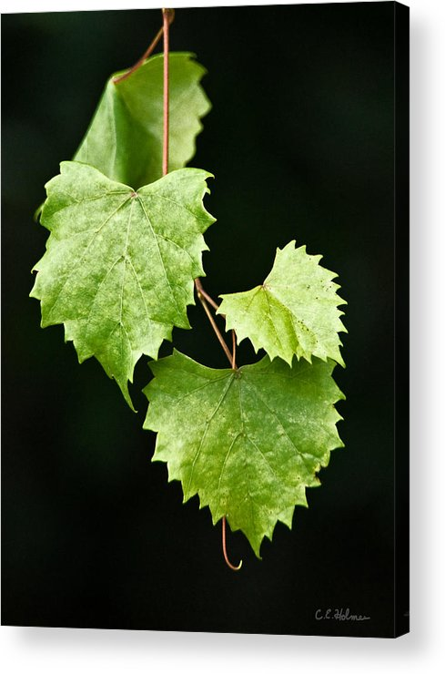 Flora Acrylic Print featuring the photograph Green Leaves by Christopher Holmes