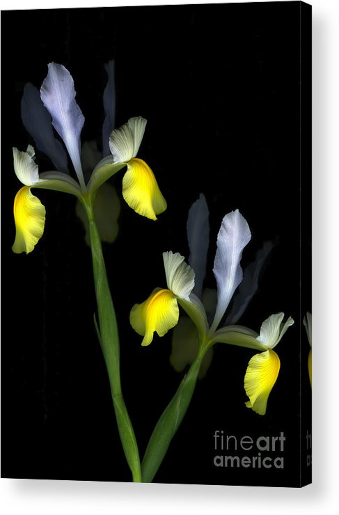 Lili Acrylic Print featuring the photograph Harlequin by Christian Slanec