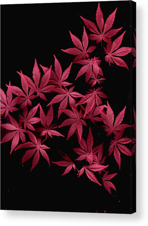 Japanese Maple Acrylic Print featuring the photograph Japanese Maple Leaves by Wayne Potrafka