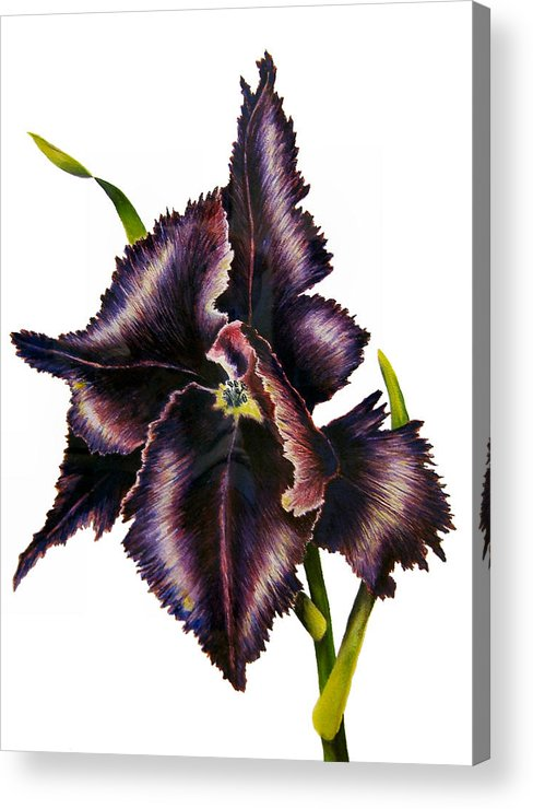 Tulip Garden Acrylic Print featuring the painting Parrot Tulip by JoLyn Holladay