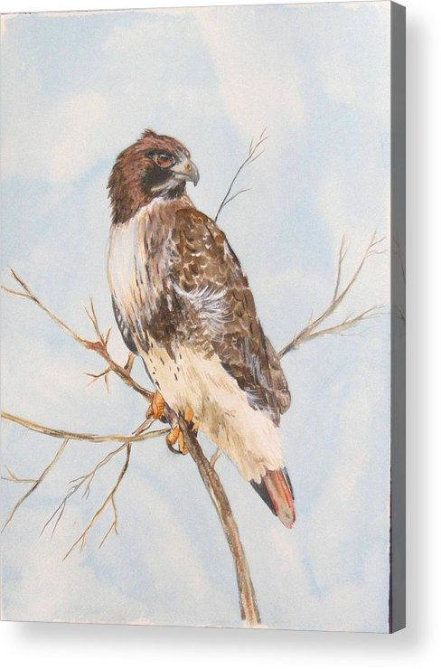 Acrylic Print featuring the painting Red Tail Hawk by Diane Ziemski