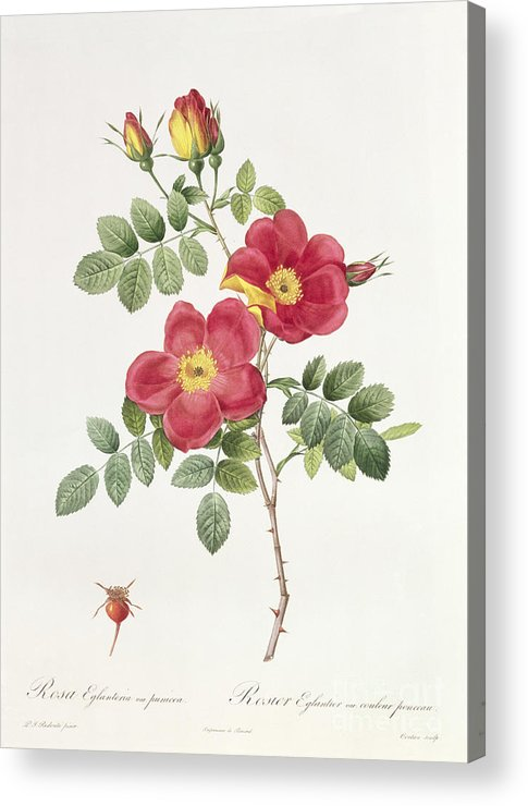 Rosa Acrylic Print featuring the drawing Rosa Eglantera Punicea by Pierre Joseph Redoute