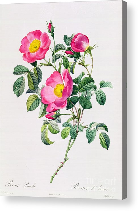 Rosa Acrylic Print featuring the drawing Rosa Lumila by Pierre Joseph Redoute