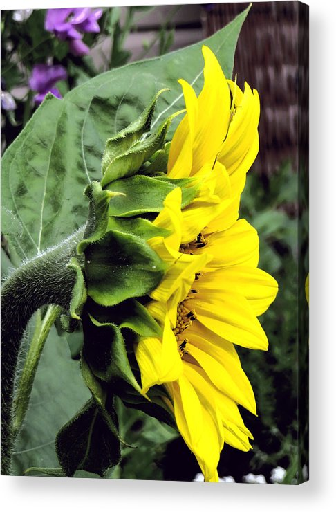 Profile Of A Sunflower Acrylic Print featuring the photograph Silhouette Of A Sunflower by Kathleen Sartoris