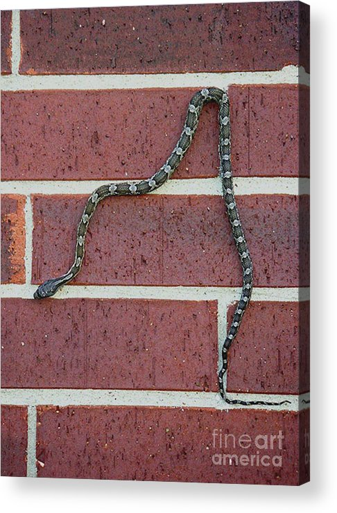 Nature Acrylic Print featuring the photograph Snaking Down A Brick Wall by Lucyna A M Green