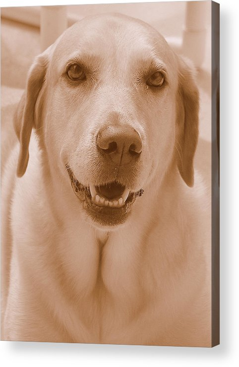 Labrador Retriever Acrylic Print featuring the photograph That Face by Karen Fields