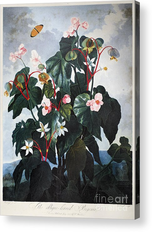 1800 Acrylic Print featuring the photograph Thornton: Begonia by Granger