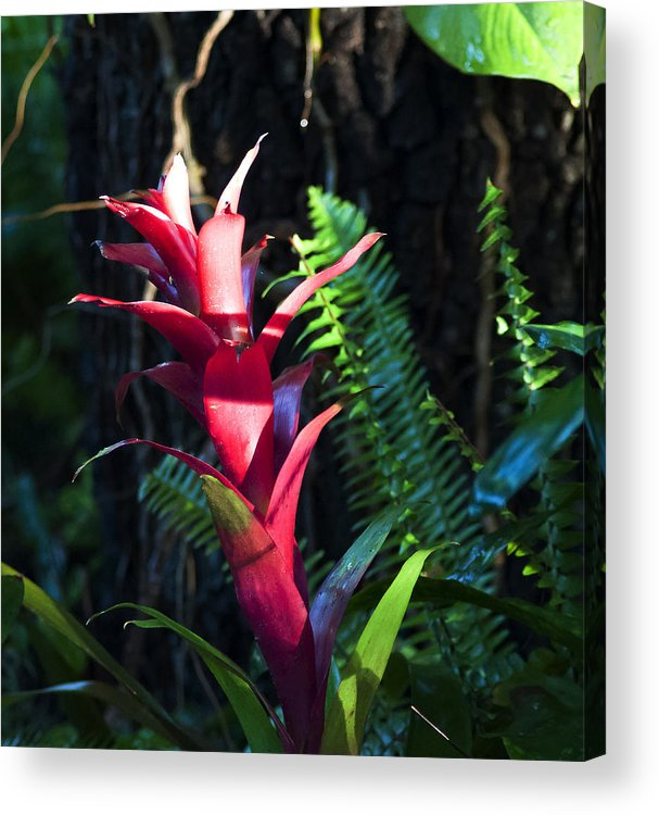 Bromeliad Acrylic Print featuring the photograph First Light by Norman Johnson