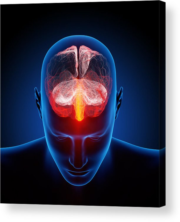 Brain Acrylic Print featuring the photograph Human Brain by Johan Swanepoel