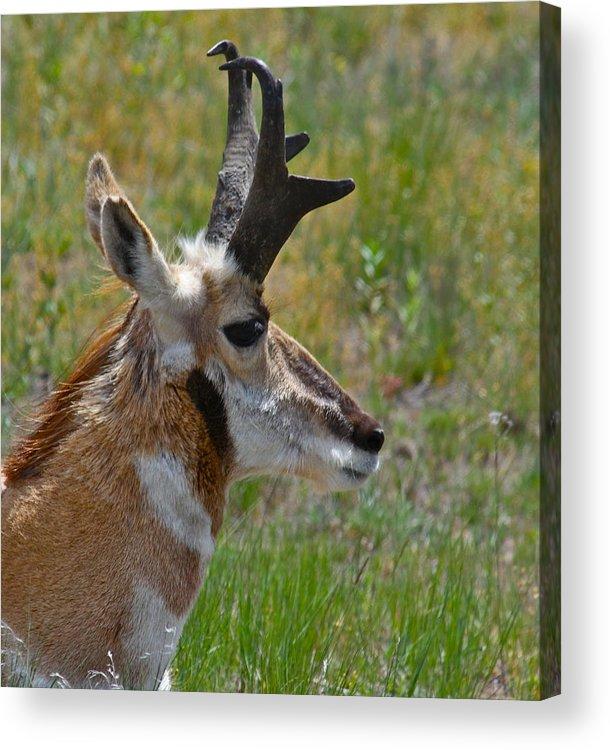 Pronghorn Acrylic Print featuring the photograph Pronghorn Buck Profile by Karon Melillo DeVega