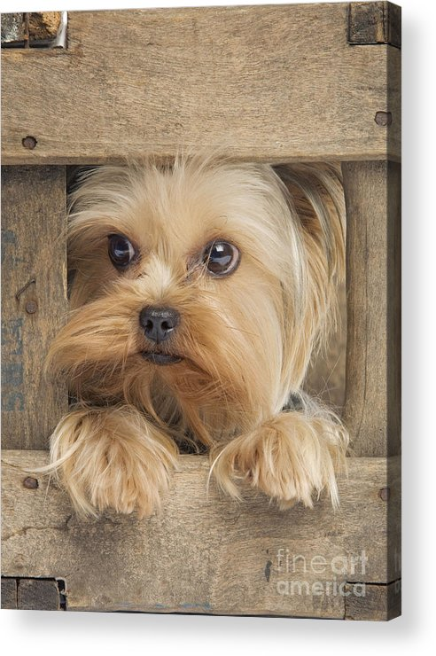Yorkshire Terrier Acrylic Print featuring the photograph Yorkshire Terrier Dog by Jean-Michel Labat