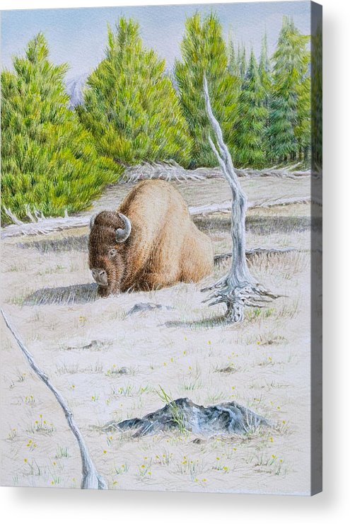 Buffalo Acrylic Print featuring the painting A Buffalo Sits In Yellowstone by Michele Myers