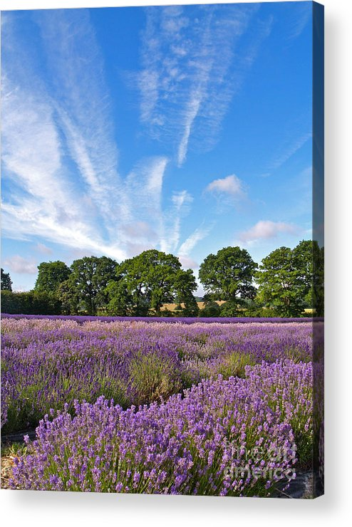 Landscape Acrylic Print featuring the photograph English Lavender Fields In Hampshire by Alex Cassels