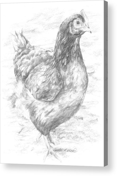 Hen Acrylic Print featuring the drawing Hen Study by Meagan Visser