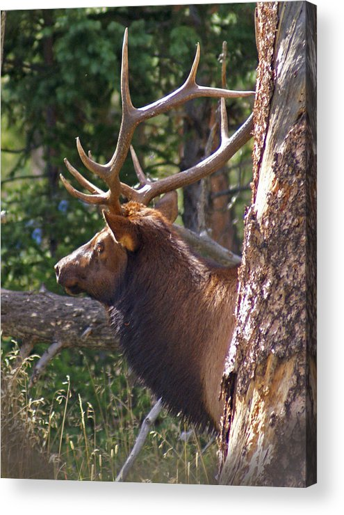 Elk Acrylic Print featuring the photograph Bull Elk 2 by Heather Coen