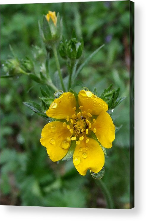 Cinquefoil Acrylic Print featuring the photograph Fan-leaf Cinquefoil At Trillium Lake by Everett Bowers