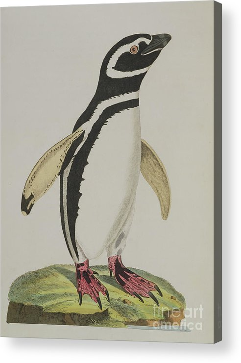 Penguin Acrylic Print featuring the painting Illustration Of A Penguin by John Frederick Miller